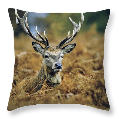 Wildlife Throw Pillow featuring the photograph Deer Rests In Bracken by Steve Somerville