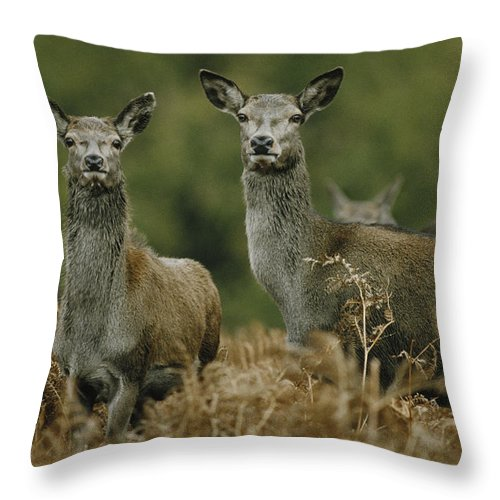 Deer Throw Pillow featuring the photograph Doe And Young Deer by Steve Somerville