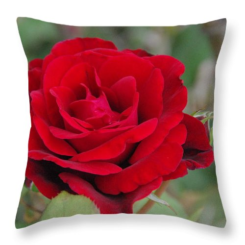 Flower Throw Pillow featuring the photograph Don Juan Climbing Rose by Robyn Stacey