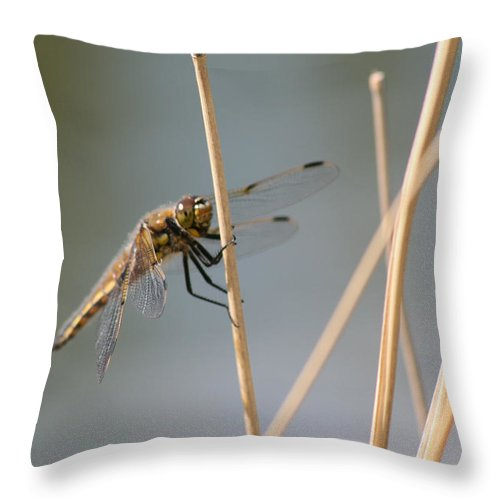 Bugs Dragonfly Flying Insect Reeds Grass Gold Color Eyes Wings Wild Nature Throw Pillow featuring the photograph Dragonfly by Andrea Lawrence
