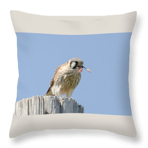 Kestrel Throw Pillow featuring the photograph Drumstick? by Judd Nathan