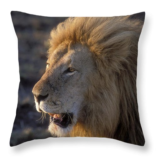 Lion Throw Pillow featuring the photograph Early Morning Warning by Sandra Bronstein