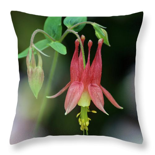 Columbine Throw Pillow featuring the photograph Eastern Red Columbine - D010104 by Daniel Dempster