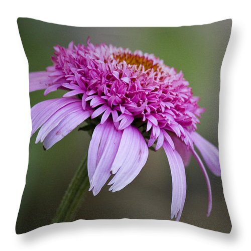 Pink Throw Pillow featuring the photograph Echinacea Pink Double Delight by Teresa Mucha