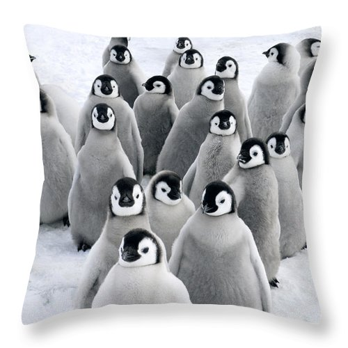 Mp Throw Pillow featuring the photograph Emperor Penguin Chicks by Jan Vermeer