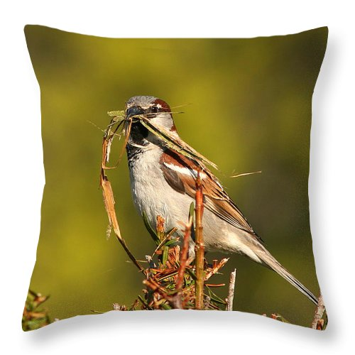 Sparrow Throw Pillow featuring the photograph English Sparrow Bringing Material To Build Nest by Max Allen