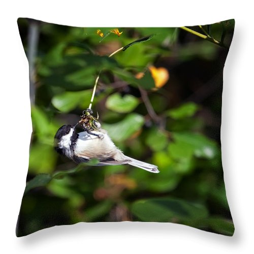Black-capped Chickadee Throw Pillow featuring the photograph Feeding Black-capped Chickadee by Al Mueller