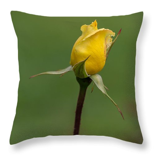 Flowers Throw Pillow featuring the photograph First Rose Of Spring by Beverly Tabet