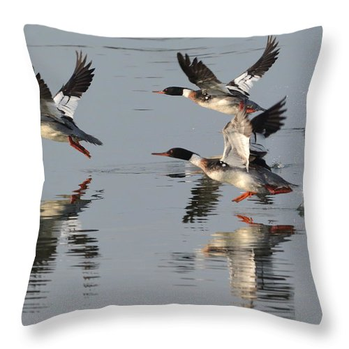 Red Breasted Merganser Throw Pillow featuring the photograph Flight Of Three by Dan Williams