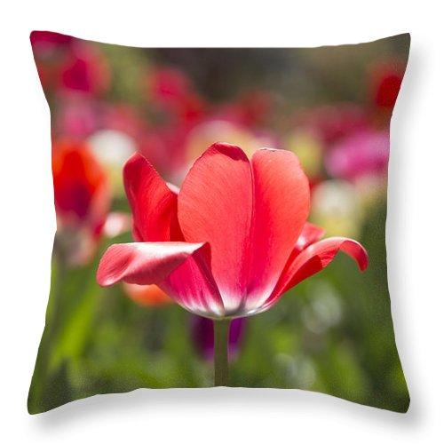Tulips Throw Pillow featuring the photograph Flirt by Jennifer Schaefer