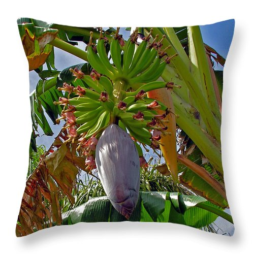 Banana; Bunch; Fruit; Flower; Tree; Stalk; Growing; Florida; Melbourne; Beach; Hand; Baby; Green; Le Throw Pillow featuring the photograph Florida Banana Flower And Fruit by Allan Hughes