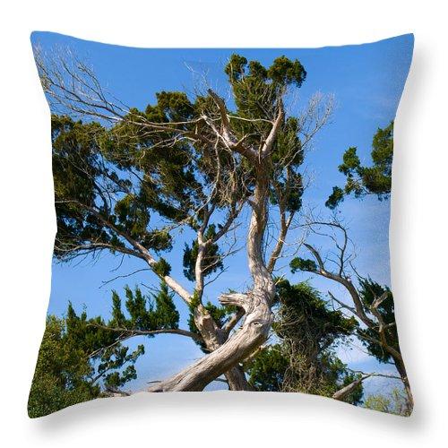 Cedar; Cedars; Tree; Florida; Timucuan; Indian; Mound; Shell; Midden; Oak; Hill; Flora; Branch; Weat Throw Pillow featuring the photograph Florida Cedar Tree by Allan Hughes