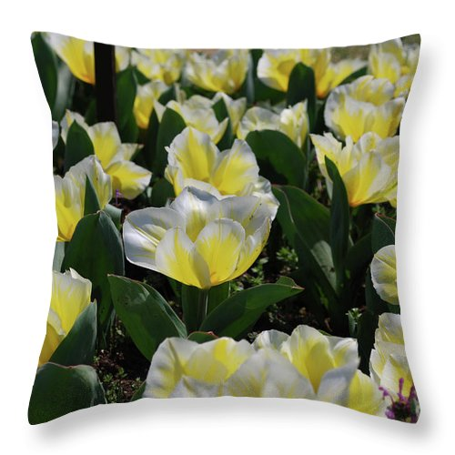 Tulip Throw Pillow featuring the photograph Flowering Yellow And White Tulips In A Spring Garden by DejaVu Designs