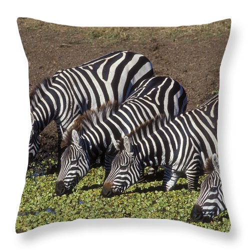 Zebra Throw Pillow featuring the photograph Four For Lunch - Zebras by Sandra Bronstein