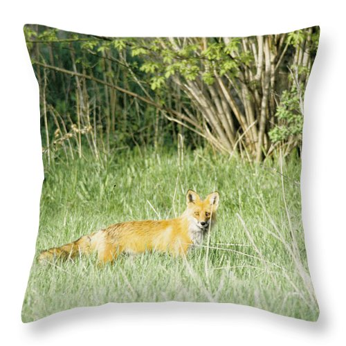Fox Throw Pillow featuring the photograph Fox In Meadow by Steve Somerville