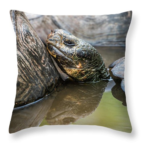 Ecuador Throw Pillow featuring the photograph Galapagos Giant Tortoise In Pond Amongst Others by Ndp