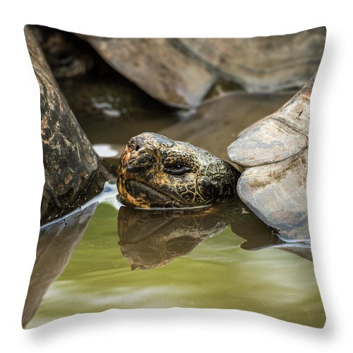 Galapagos Throw Pillow featuring the photograph Galapagos Giant Tortoise In Pond Behind Another by Ndp