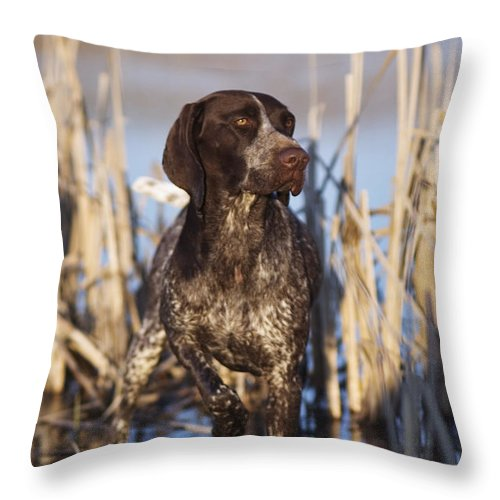 Gsp Throw Pillow featuring the photograph German Shorthair On Point - D000897 by Daniel Dempster