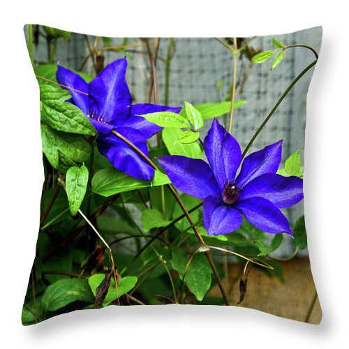 Clematis Throw Pillow featuring the photograph Giant Blue Clematis by Douglas Barnett