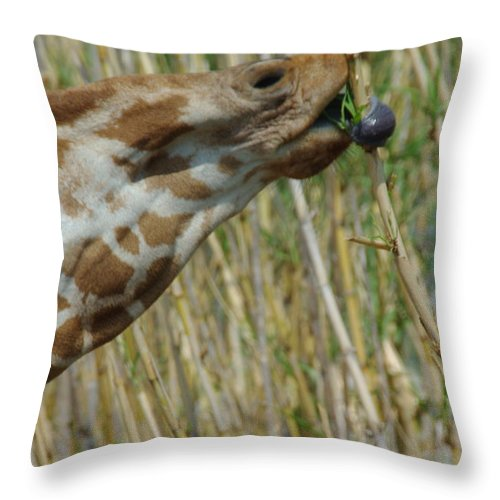 Giraffe Throw Pillow featuring the photograph Giraffe Feeding 1 by Robyn Stacey