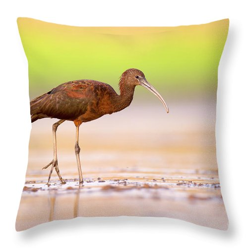 Ibises Throw Pillow featuring the photograph Glossy Ibis Plegadis Falcinellus by Alon Meir