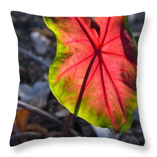 Glowing Throw Pillow featuring the photograph Glowing Coladium Leaf by Douglas Barnett