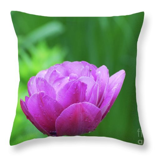 Tulip Throw Pillow featuring the photograph Gorgeous Blooming And Flowering Dark Pink Parrot Tulip by DejaVu Designs