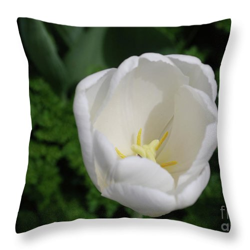 Tulip Throw Pillow featuring the photograph Gorgeous Blooming White Tulip Flower Blossom In Spring by DejaVu Designs