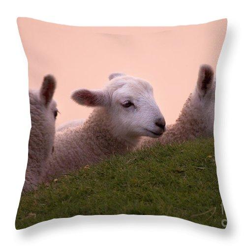 Prancing Lamb Throw Pillow featuring the photograph Gossiping by Angel Ciesniarska