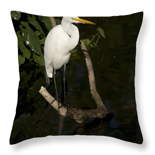 Great Egret Throw Pillow featuring the photograph Great Egret by Chad Davis