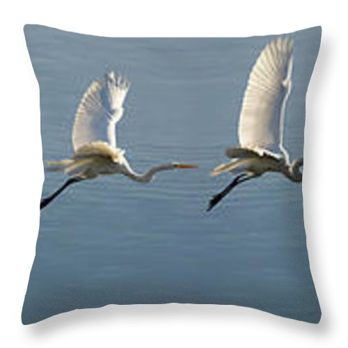 Wildlife Throw Pillow featuring the photograph Great Egret Flight Sequence by Brian Tada