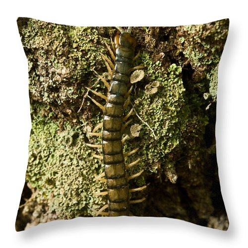 Centipede Throw Pillow featuring the photograph Green Centipede by Douglas Barnett