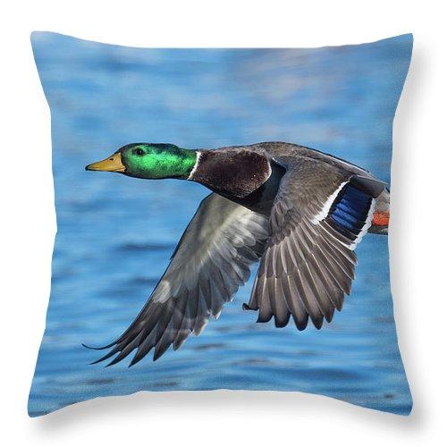 Mallard Throw Pillow featuring the photograph Green Head Flyby by Paul Freidlund