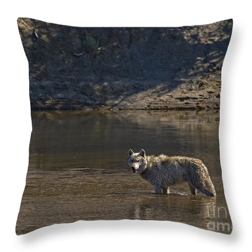 Canis Lupis Throw Pillow featuring the photograph Grey Wolf In The Yellowstone River-signed-#4363 by J L Woody Wooden