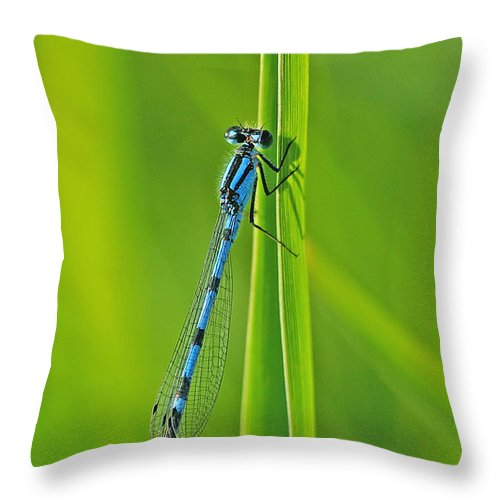 Damselfly Throw Pillow featuring the photograph Hagens Bluet by Bill Morgenstern