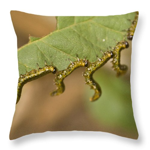 Larvae Throw Pillow featuring the photograph Hanging There by Douglas Barnett