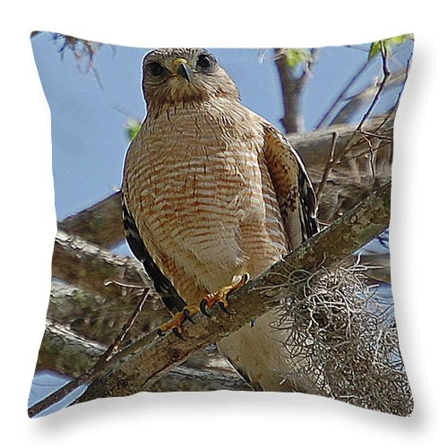 Hawk Throw Pillow featuring the digital art Hawk Gawk by DigiArt Diaries by Vicky B Fuller