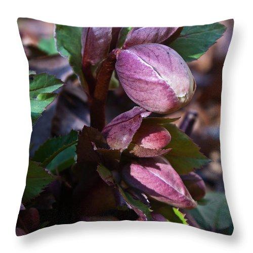 Heliborus Throw Pillow featuring the photograph Heliborus Early Flower Buds 1 by Douglas Barnett