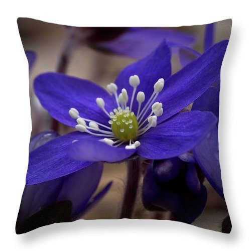 Lehtokukka Throw Pillow featuring the photograph Hepatica 4 by Jouko Lehto