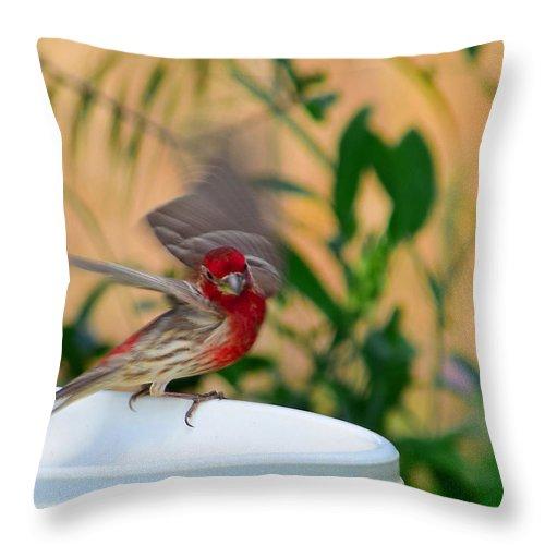 Bird Throw Pillow featuring the photograph House Finch - 2 by Alan C Wade