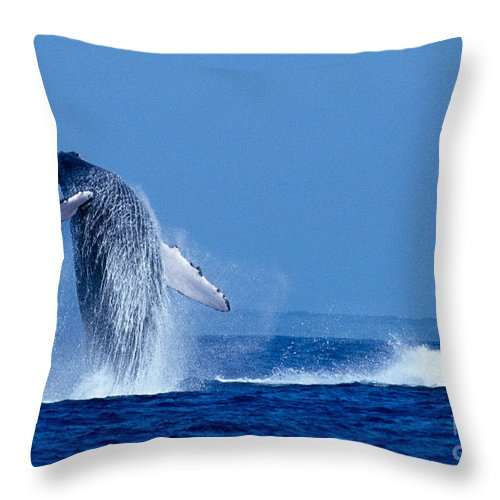 Animal Art Throw Pillow featuring the photograph Humpback Whale Breaching by Ed Robinson - Printscapes
