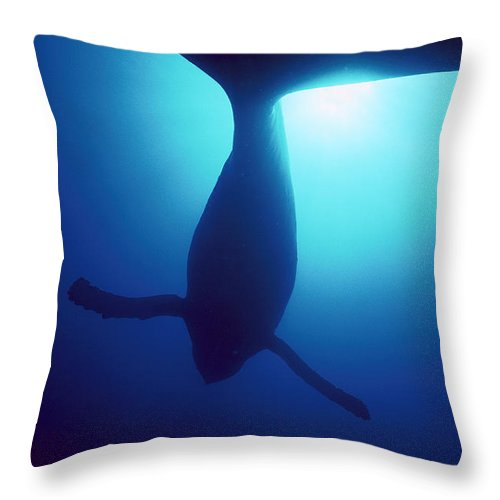 Mp Throw Pillow featuring the photograph Humpback Whale Megaptera Novaeangliae by Flip Nicklin