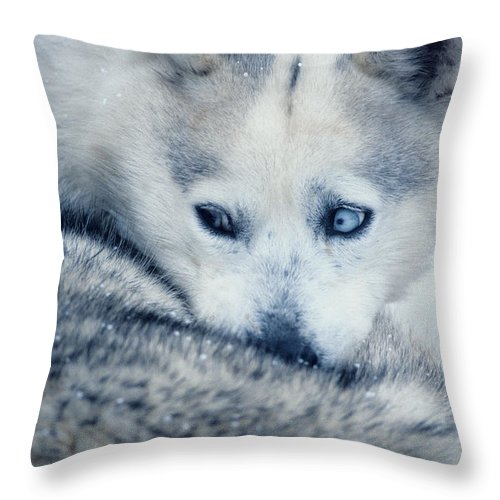 Husky Throw Pillow featuring the photograph Husky Curled Up by Steve Somerville