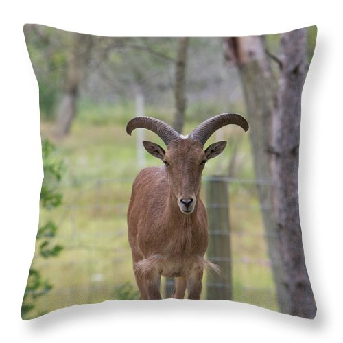 Goat Throw Pillow featuring the photograph I Dare You by Melissa Leda