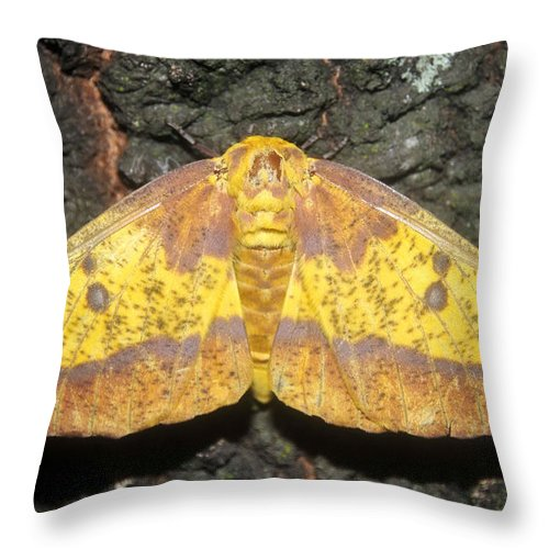 Imperial Moth Throw Pillow featuring the photograph Imperial Moth by David Lee Thompson
