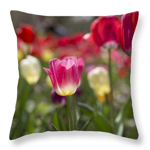Tulips Throw Pillow featuring the photograph In Bloom by Jennifer Schaefer