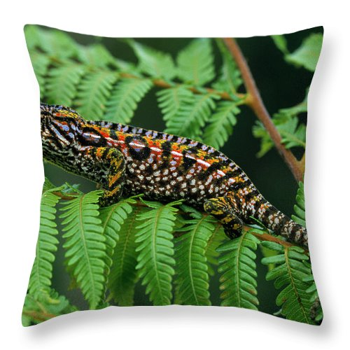 Fn Throw Pillow featuring the photograph Jeweled Chameleon Furcifer Lateralis by Ingo Arndt