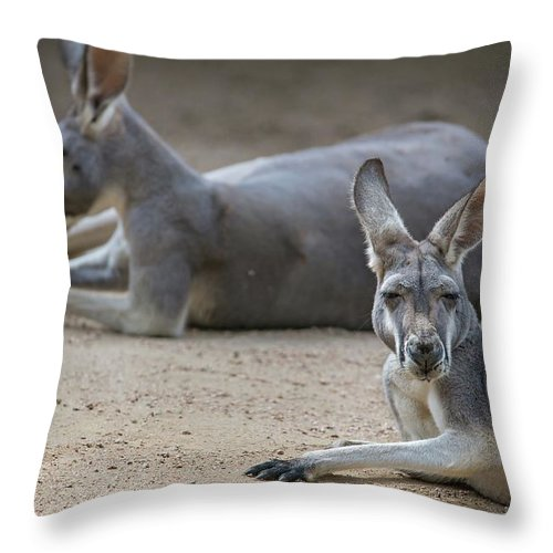 Kangaroo Throw Pillow featuring the photograph Kangaroo Relaxing On Ground In The Sun by Alex Grichenko