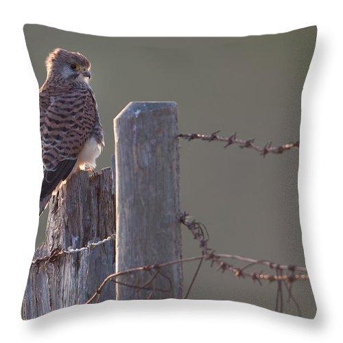 Kestrel Throw Pillow featuring the photograph Kestrel On Rustic Fence by Bob Kemp