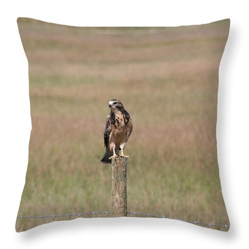 Hawk Wild Bird Nature Grass Fence Barbwire Flying Throw Pillow featuring the photograph King Of His Domain. by Andrea Lawrence